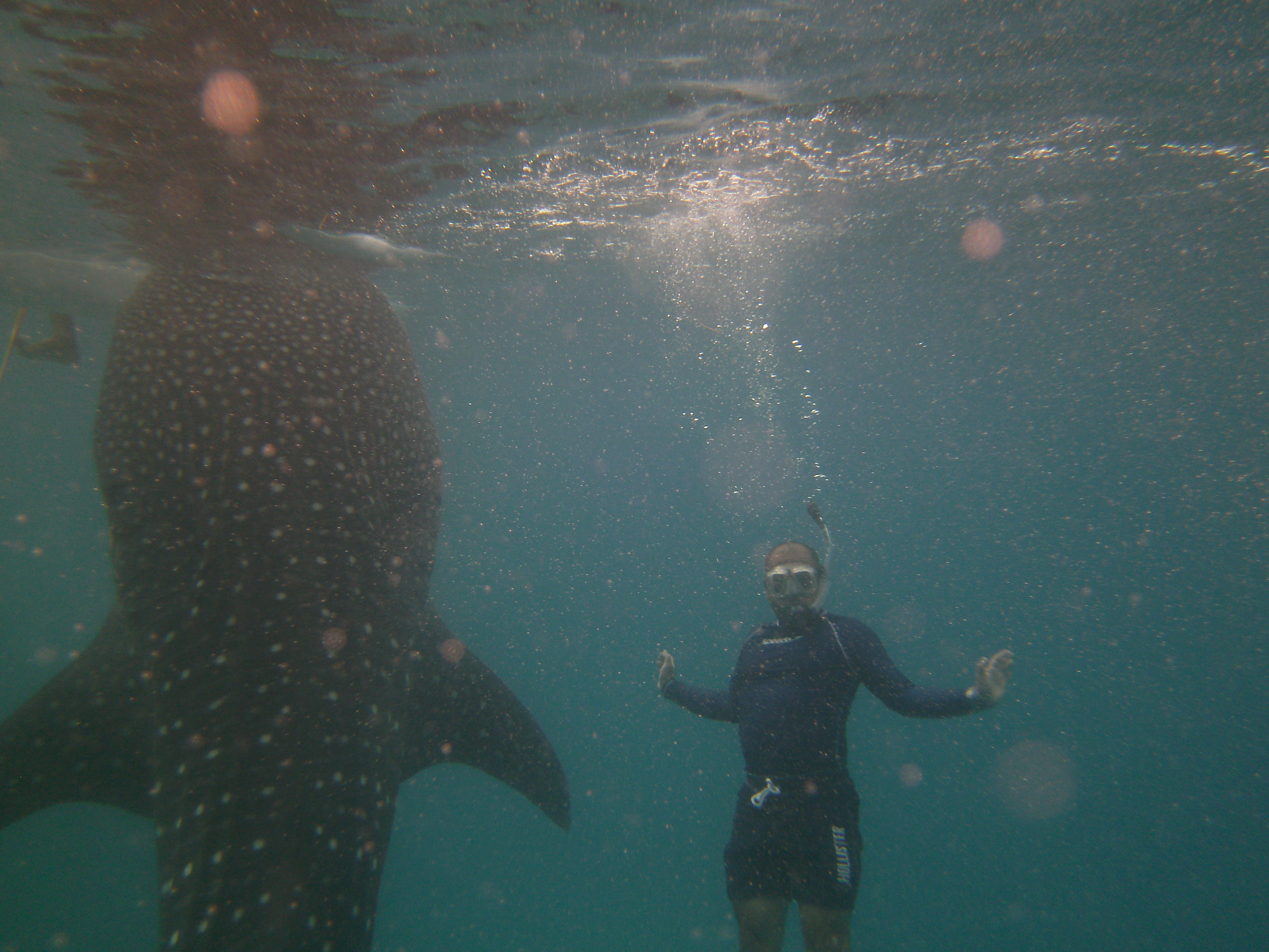Scuba Snorkeling with 3 whale sharks in Oslob, Cebu Philippines.