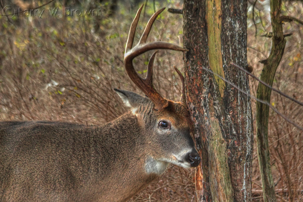Hunting Whitetail Buck creating a 'rub' (a rut sign-post)