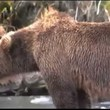 Bear gets heart attack!! Caught on camera