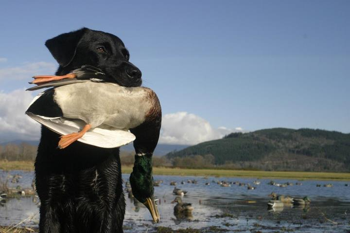 Hunting Here are our picks for the best dog breeds for every game animal: http://bit.ly/13570js