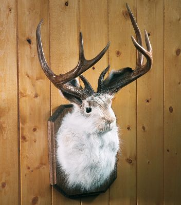 Hunting The existence of the wily jackalope has been a controversial topic of debate for generations. Now you can prove once and for all that at least the species had the necessary counterparts for reproduction. This jackalope was professionally mounted by a taxidermist in South Dakota, an area known for numerous jackalope sightings over the years. They are made with reproduction cast antlers. Dimensions: 11W x 18H x 9D. - $149.99