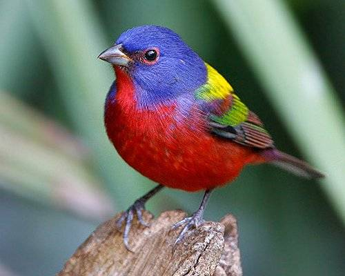 Camp and Hike painted bunting