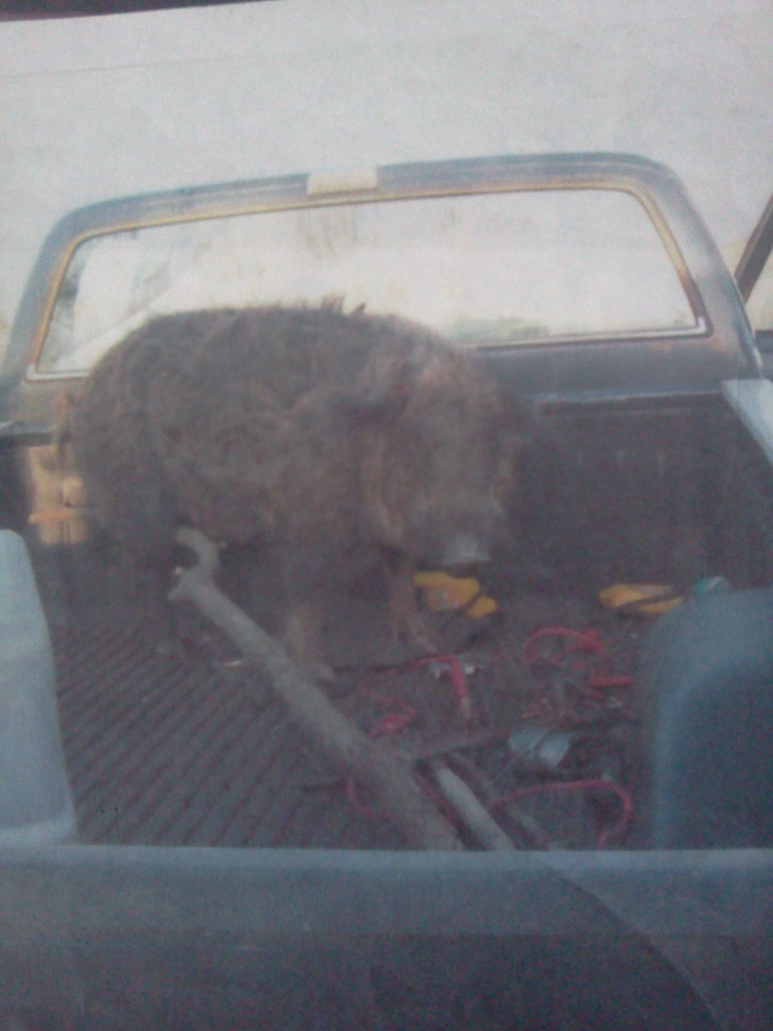 Hunting Big boar i talked into the back of my truck!