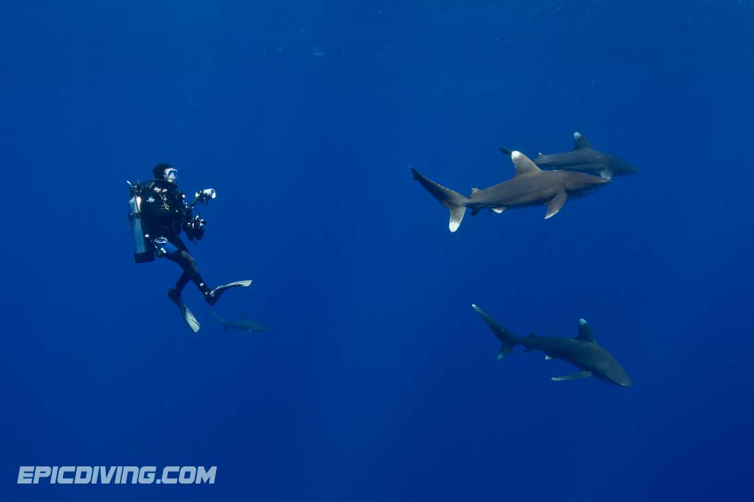 Scuba Epic Diving Oceanic Whitetip Expedition:  Diver with a few Oceanic Whitetips off Cat Island in the Bahamas.