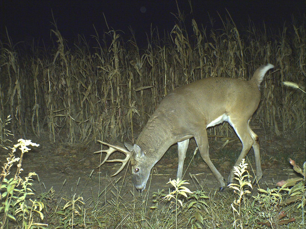 Hunting Trophy Whitetail Deer