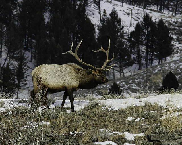 Hunting This estimable bull elk is undoubtedly among the higher magnitude of the Yellowstone herds