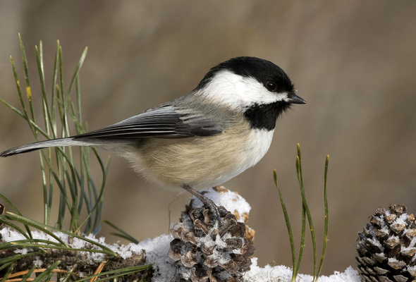 Camp and Hike Black Capped Chickadee