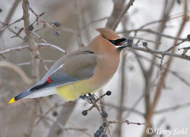 Camp and Hike Cedar Waxwing