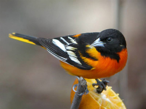 Camp and Hike Baltimore Oriole