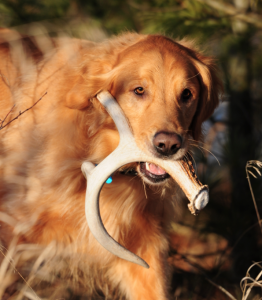 Hunting Whether you are going it alone or looking for deer antlers with a shed hunting dog, now is the time to get out there and start looking. (deeranddeerhunting.com)