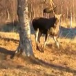 Moose was released unharmed but slightly rattled