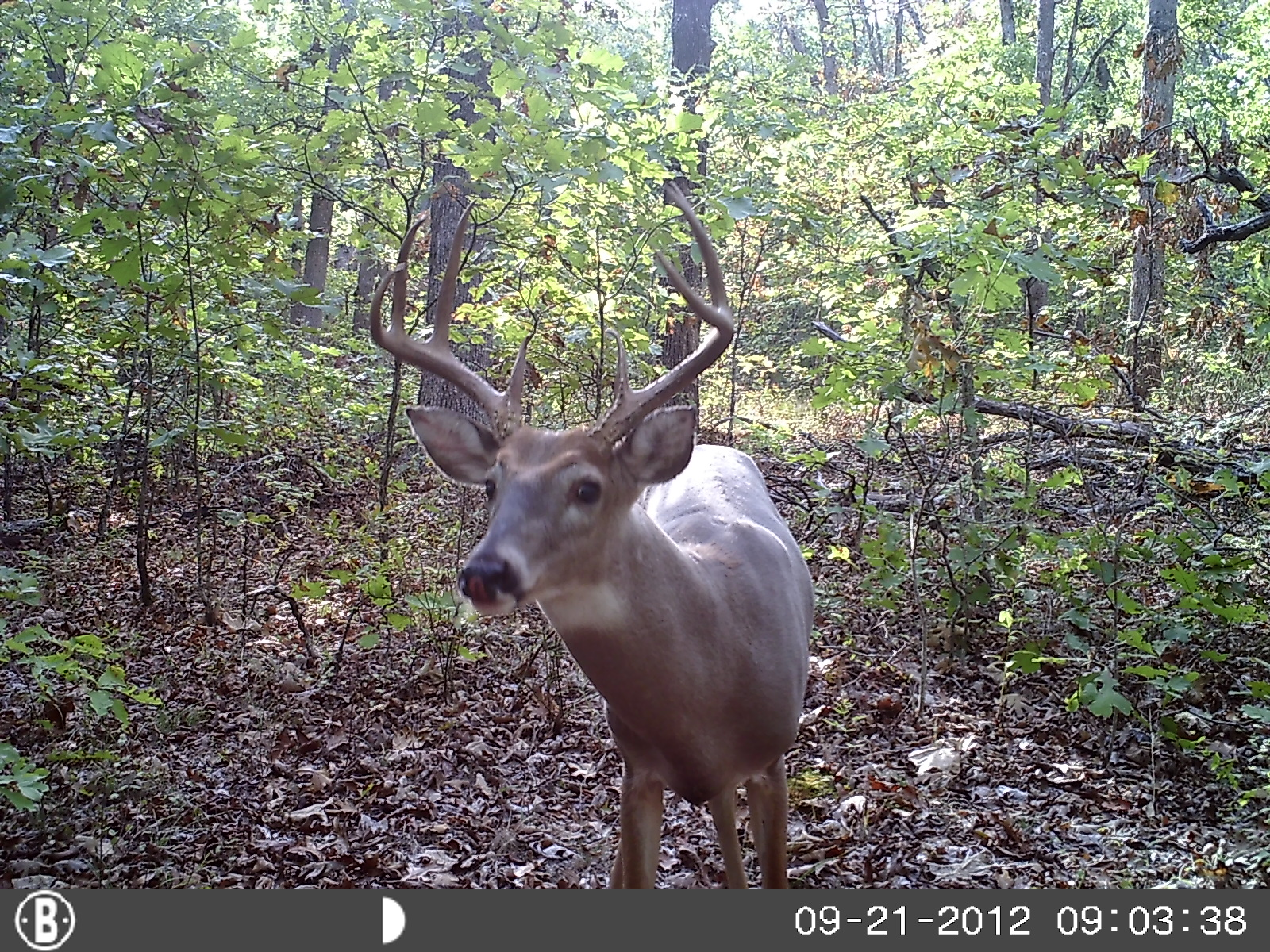 Hunting trail cam pics Bow Season Missouri White tail