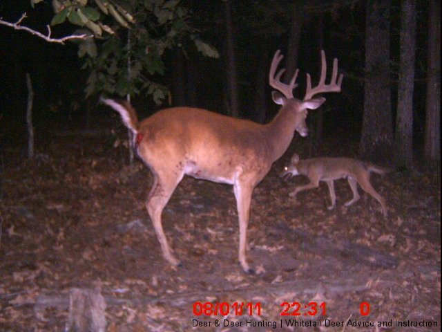 Hunting Trail cam photo.  Coyotes eventually kill this buck in Oklahoma.