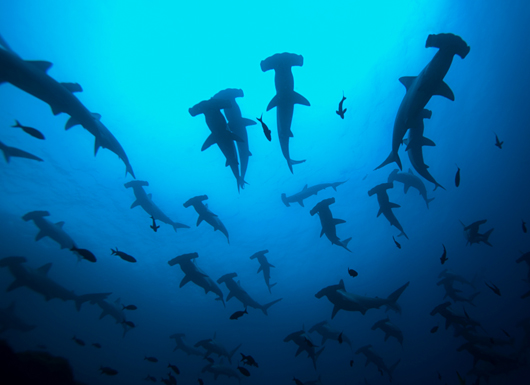 Scuba Diving With Hammerheads - Galápagos Islands, Ecuador