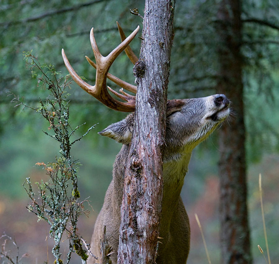 Hunting Bucks are making rubs in all of their highest-traffic areas this month