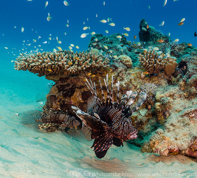 Scuba Lionfish, mouth open swims past a table coral on a tropical reef