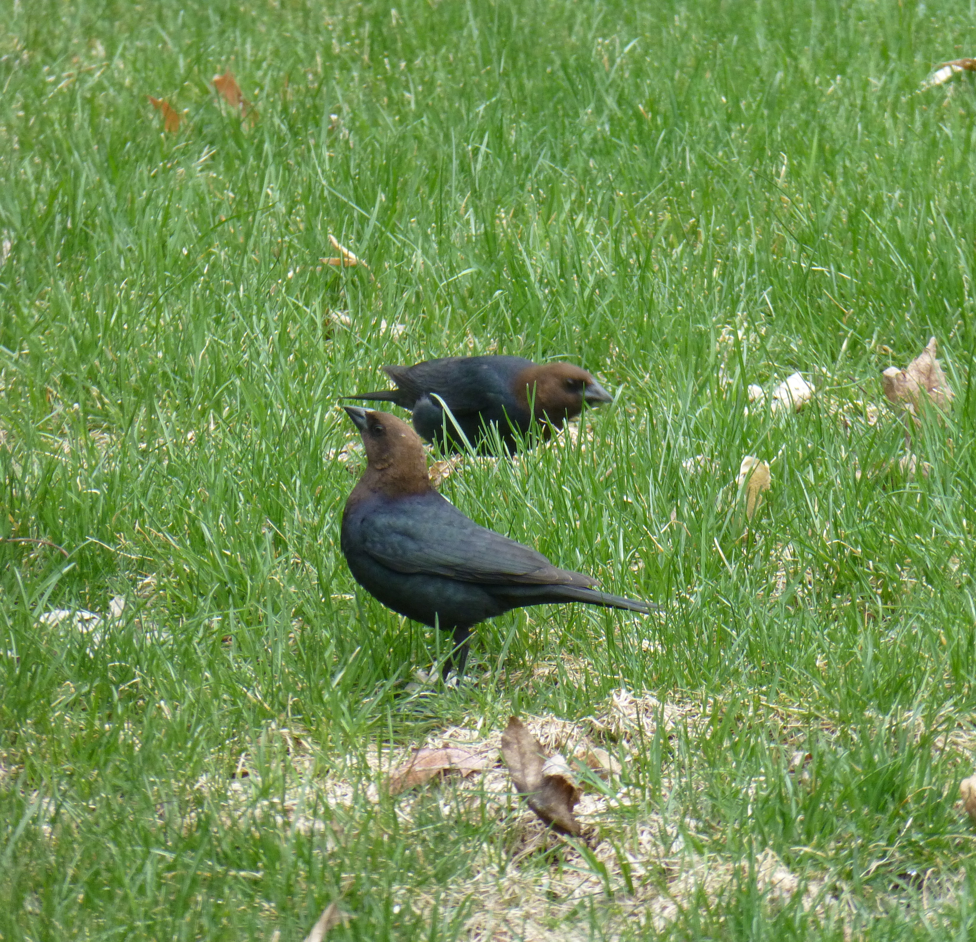 Camp and Hike Brown-headed Cowbird