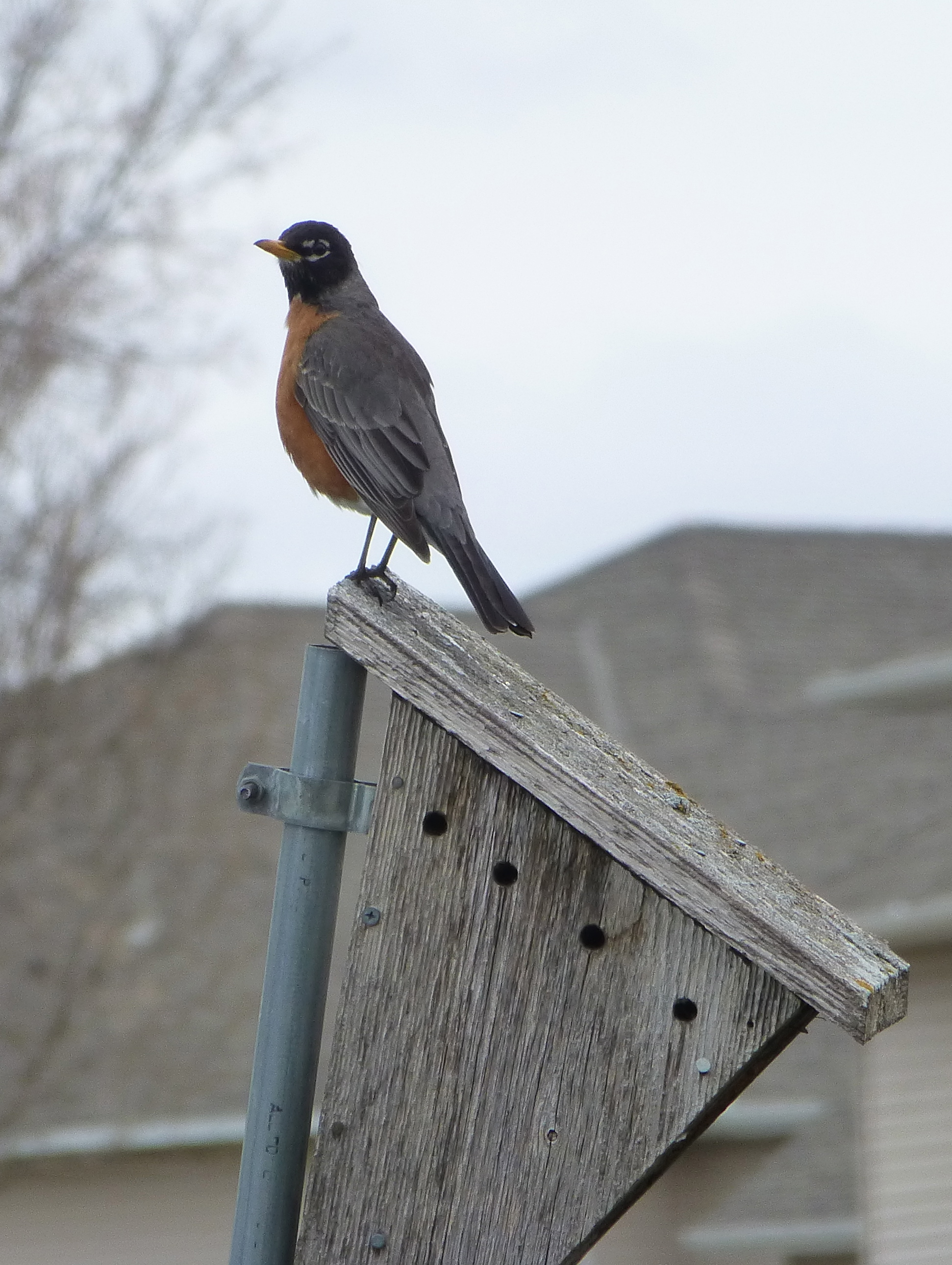 Camp and Hike American Robin