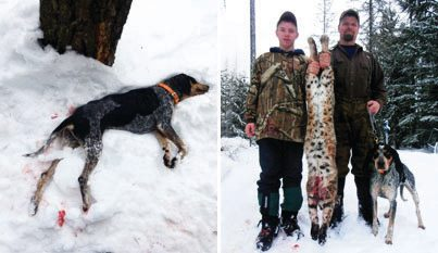 Hunting Wolves vs. Lion Hounds: Attacks are rising in Montana and Idaho, causing some houndsmen to quit the sport. Sadie (below) was killed this February. http://bit.ly/11ELsVv