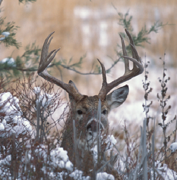 Hunting Poll: Where Exactly Do Bucks Bed?  Article by Dave Hurteau.