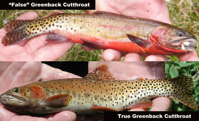 "Flyfishing What We Thought Were ""Greenback"" Cutthroats Weren't Greenback Cutthroats At All.  Article by Kirk Deeter"