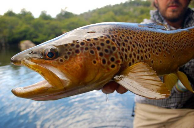 Flyfishing When Do You Stop Considering a Fish Species Invasive?  Article by Kirk Deeter