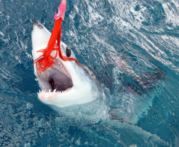 Flyfishing Releasing a Mako Shark is More Impressive Than Killing One.  Article by Kirk Deeter