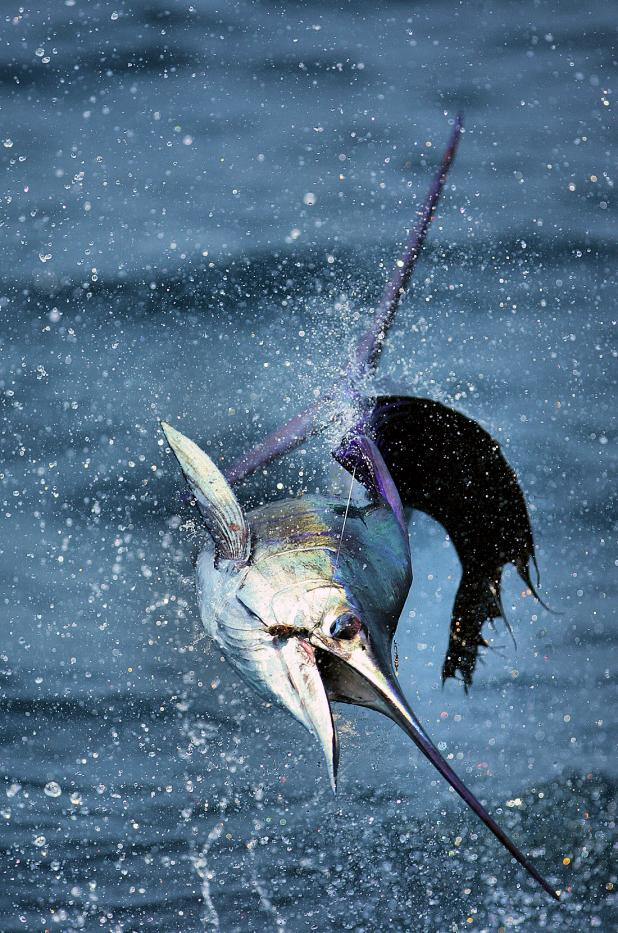 Fishing 13-Year-Old Catches 70-Pound Sailfish from a Florida Pier.  Article by Joe Cermele