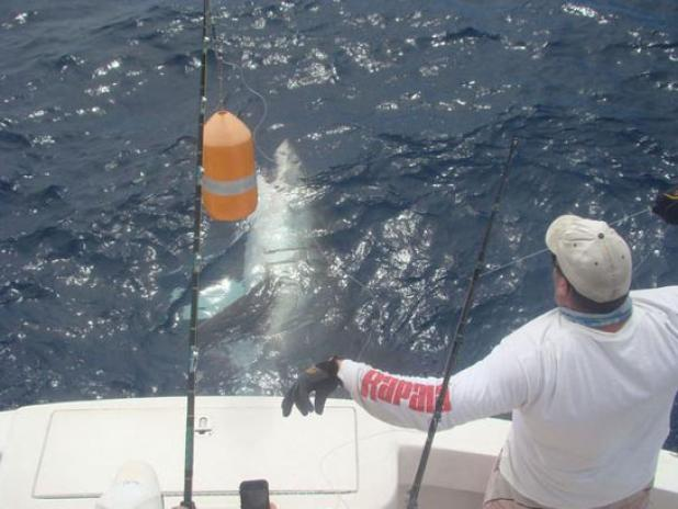 Fishing Is Florida the New Hotspot for Giant Great White Sharks?  Article by Chad Love posted on April 10, 2013