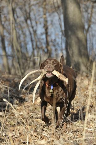 Hunting Teach your dog to find Sheds