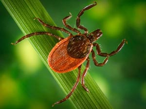Camp and Hike Ticks and Lyme Disease -- get the facts, debunk the myths, and learn how to protect yourself before and after your favorite outdoor activities.  Article by Keith Sutton