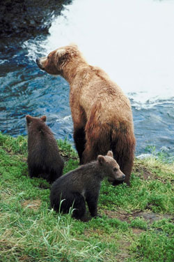 Hunting Hunting Safely in Bear Country.  