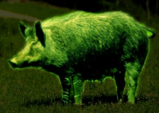 Hunting High-tech hog spotters: drones equipped with infrared cameras direct shooters wearing night vision goggles in the battle to control feral pig populations. http://bit.ly/17KdaUB
