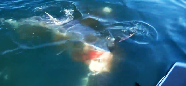 Fishing Giant mako shark kills a swordfish boatside. See the incredible video here: http://bit.ly/ZNJa8I