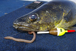 Fishing Slip-Bobbering Walleye - Drifting bait to eager walleye is an excellent technique, yet greatly under utilized.  Article by Justin Hoffman
