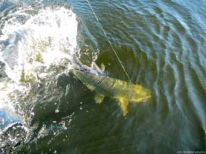 Fishing Cut Baiting for Tarpon.  Article written by Jan S. Maizler