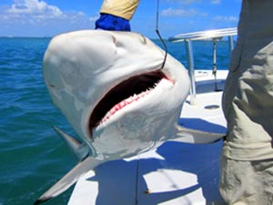 Fishing Flats Fishing for Sharks - Learn about the tactics and tackle you'll need to catch these shallow-water hunters.  Article by Jan S. Maizler