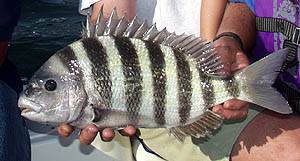 Fishing Lifting for Sheepshead - Knowing just a few tips can help put some of these tasty fish on your table.  Article by Ron Brooks