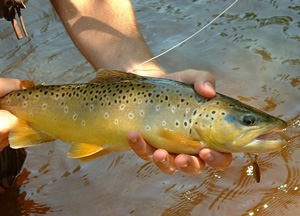 Fishing Inline Spinner Trout Tactics.  Article written by Jason Akl