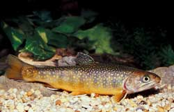 Flyfishing Brook Trout Basics.  Article written by Jason Akl