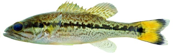 Fishing Florida FWC scientists have discovered a new bass species. Here's an article with more info on the Choctaw bass: http://www.thefishingwire.com/story/287504