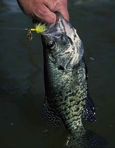 Fishing Put a Spin on Crappie Fishing - Jig and minnows aren't the only effective crappie-catchers around.  Article by Keith Sutton