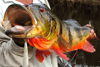 Fishing Introduction to the Peacock Bass - Discover the power of this amazing freshwater brawler.  Article by Larry Larsen