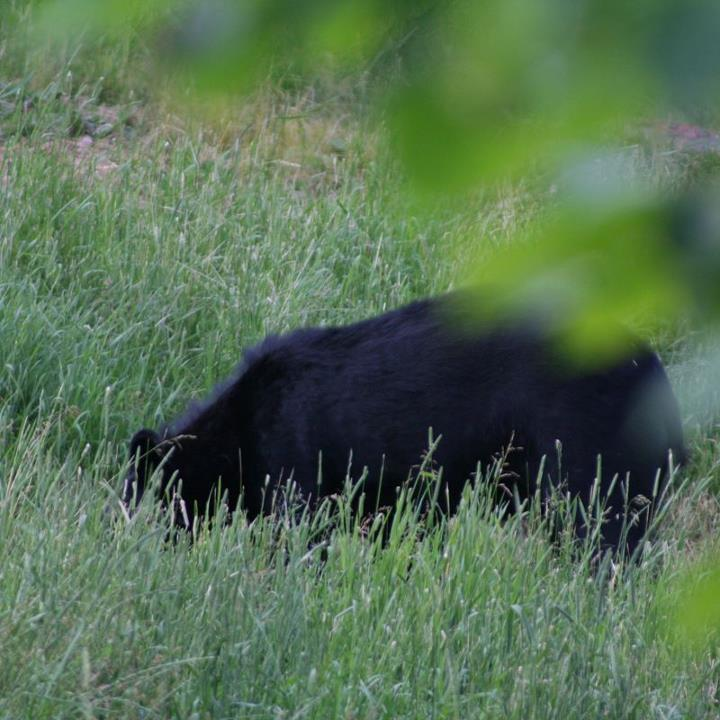 Hunting Have you ever hunted black bears in the spring? 
