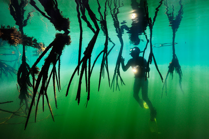Scuba Mangroves contribute to the system by trapping reef-bound sediment, filtering out pollution, and serving as nursery for many reef fish and invertebrates.