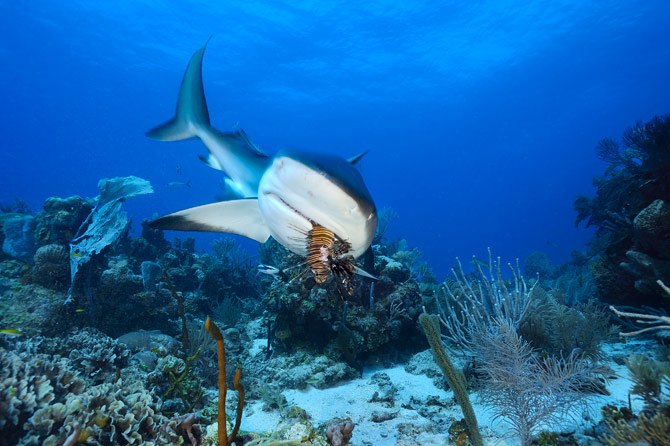 Scuba A Caribbean reef shark samples a Pacific lionfish at Cordelia Banks in Honduras.