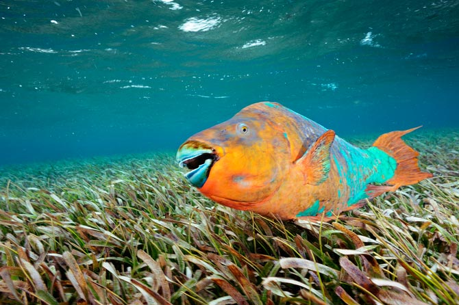 Scuba A male rainbow parrotfish patrols a bed of turtle grass in Hol Chan Marine Reserve.