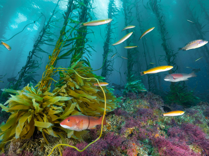Scuba An orange sheephead, slender wrasses, and other fish swim through a forest of coralline algae and kelp stalks swaying in the current around Cortes Bank