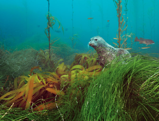 Scuba A harbor seal peers from a kelp forest on Cortes Bank, a series of undersea peaks and plateaus off the coast of San Diego. This shallow, light-filled summit supports a wide variety of animals and plants.