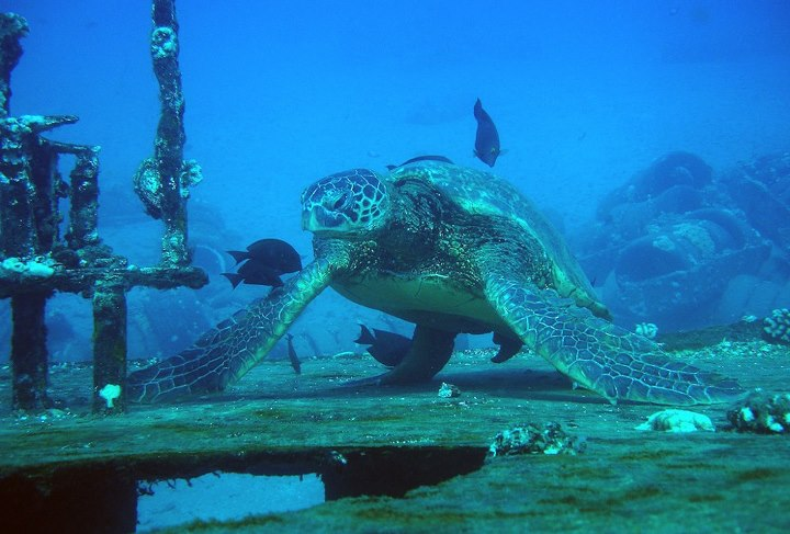 Scuba We had one of the best dives of our lives yesterday at St Anthony shipwreck off Maui. with Mike Severns Diving. Here's a shot of the enormous turtle we saw chilling out on the shipwreck - it's the biggest turtle we've ever seen!
